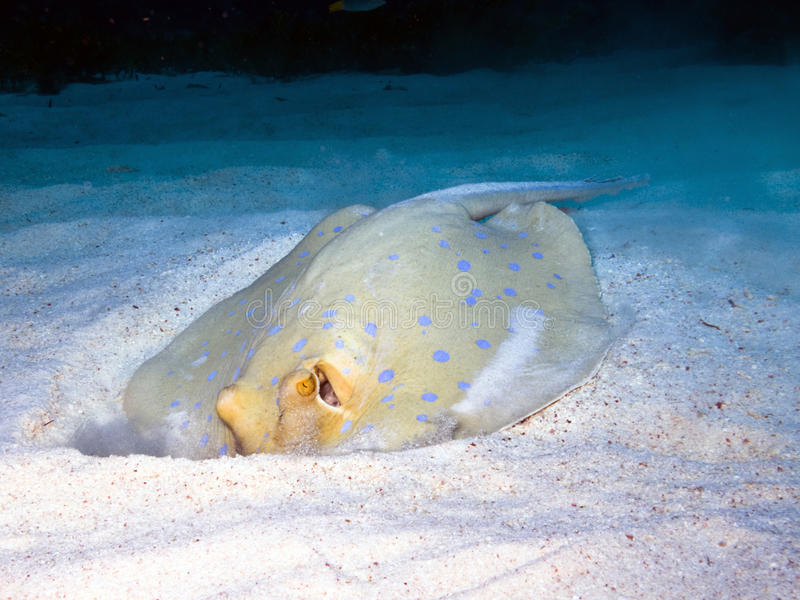 Blue-spotted ribbontail ray