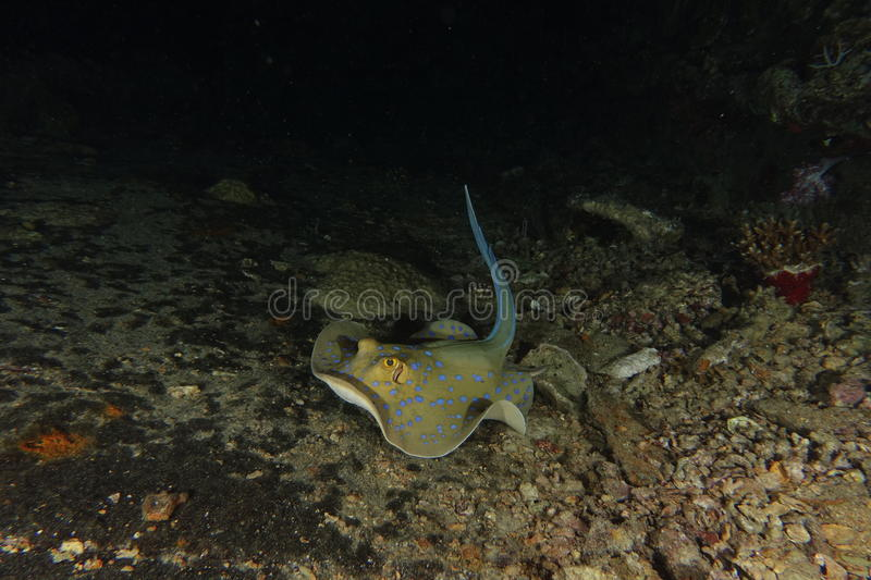 Download Blue Spotted Ribbontail Ray Stock Image - Image: 58454051