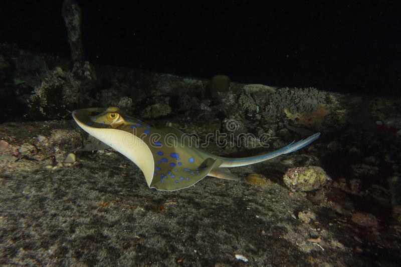 Blue spotted ribbontail ray. A blue spotted ribbontail stingray swimming away stock photography