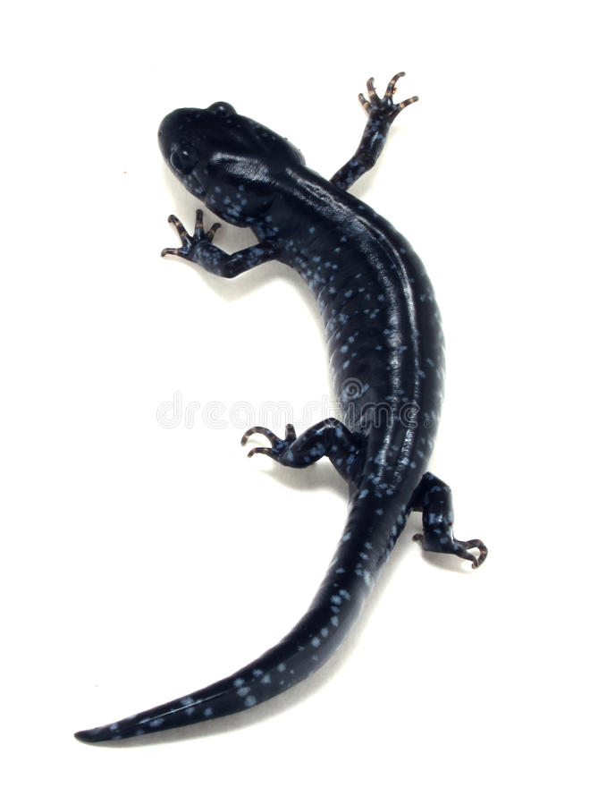 Download Blue Spotted Salamander (Ambystoma Laterale) Stock Photo - Image: 15721682