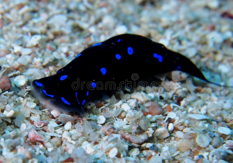 Blue spotted shield slug chelidonura Red Sea. Blue spotted shield slug Red Sea. Feeds on worms and molluscs. Fine white brush at its front. Small shell embedded royalty free stock photo