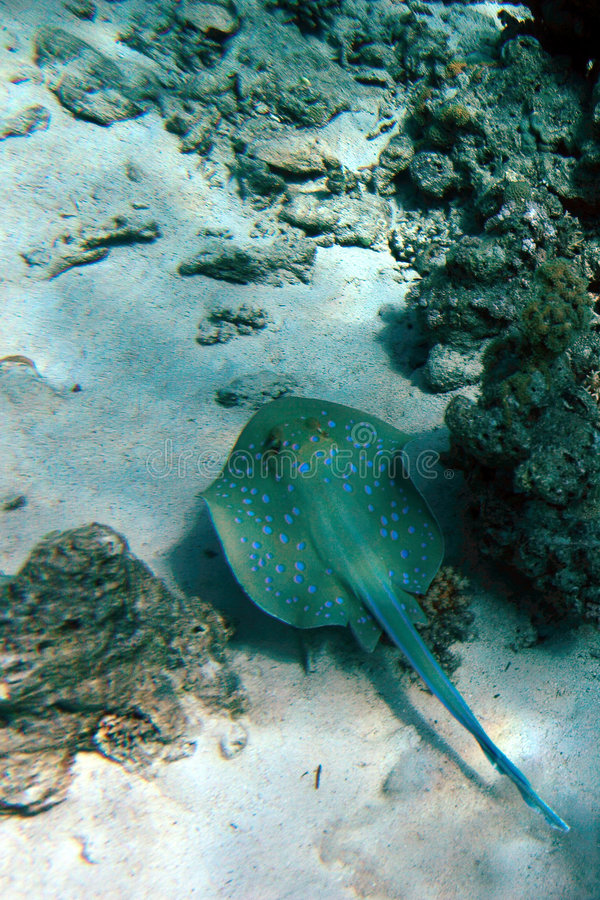 Blue spotted sting ray