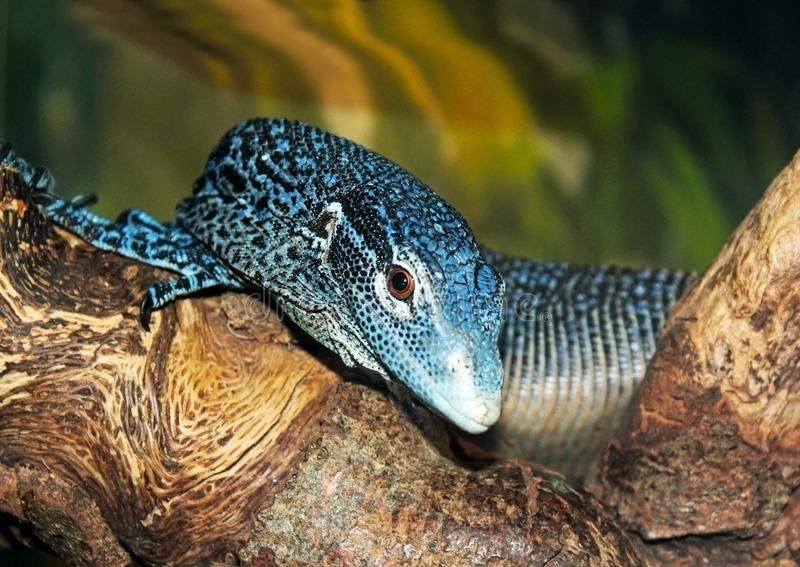 Download Blue-spotted Tree Monitor stock image. Image of california - 119997601