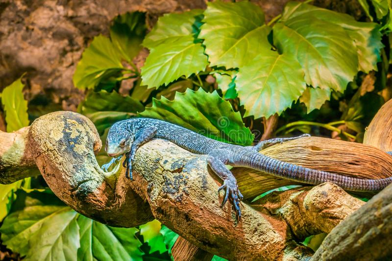 Blue spotted tree monitor on a branch in closeup, endangered lizard from the Island of Batanta in Indonesia stock photos