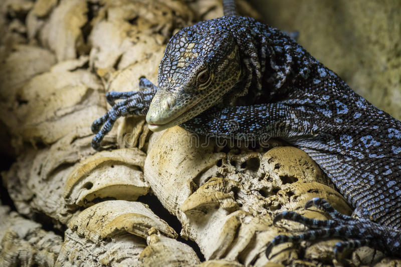 Blue-spotted tree monitor stock image