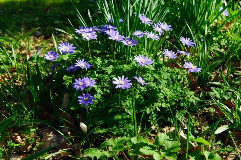 Blue spring flowers stock image
