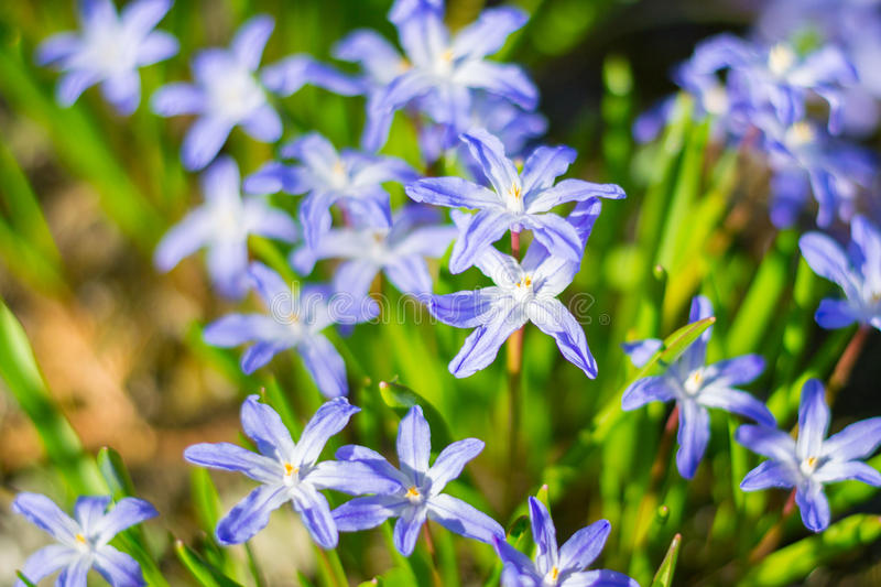 Blue spring flowers in the green grass closeup. stock image