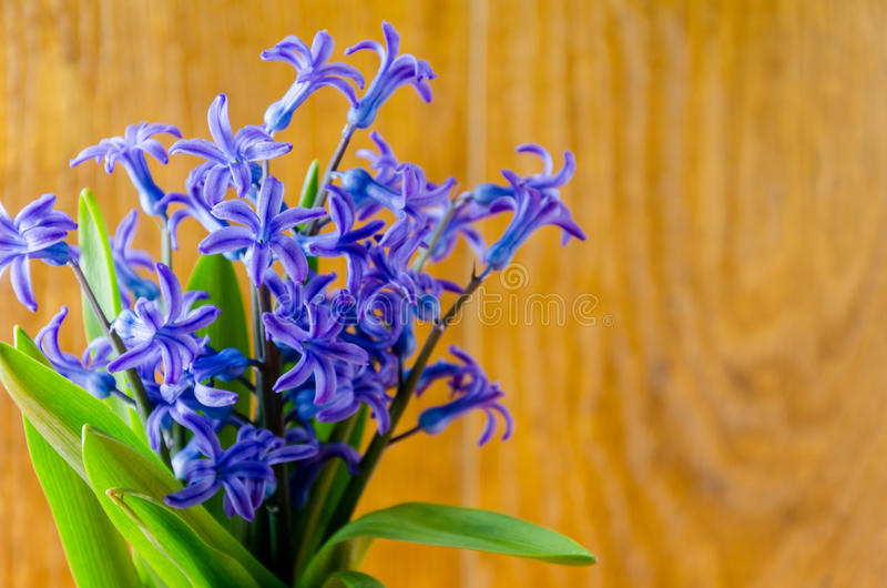 Blue spring flowers with green leaves on an old wooden background stock images