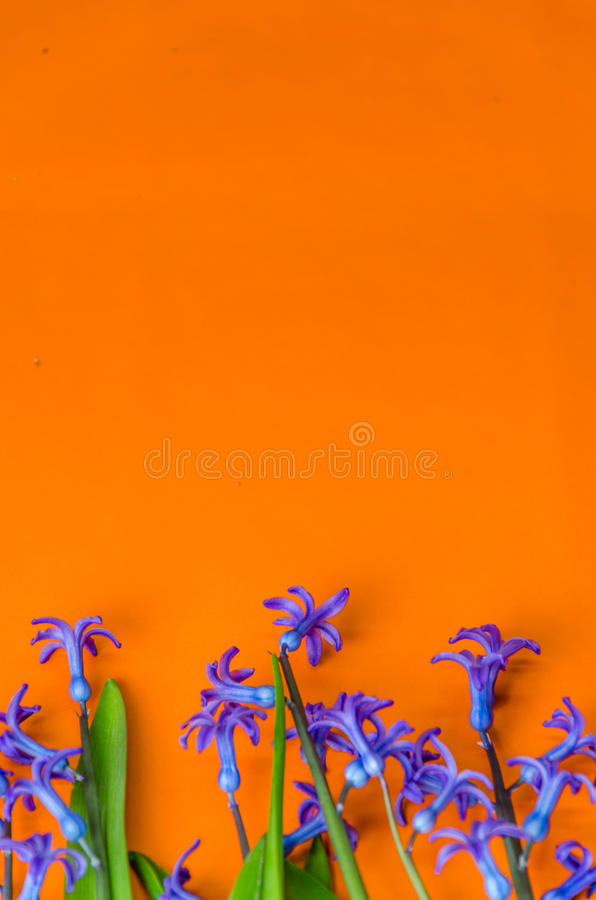 Blue spring flowers with green leaves on an orange background royalty free stock image