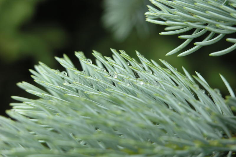 Blue spruce branch stock photography
