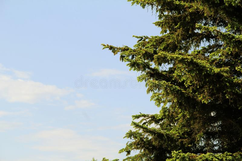 Blue spruce branches against the sky stock images