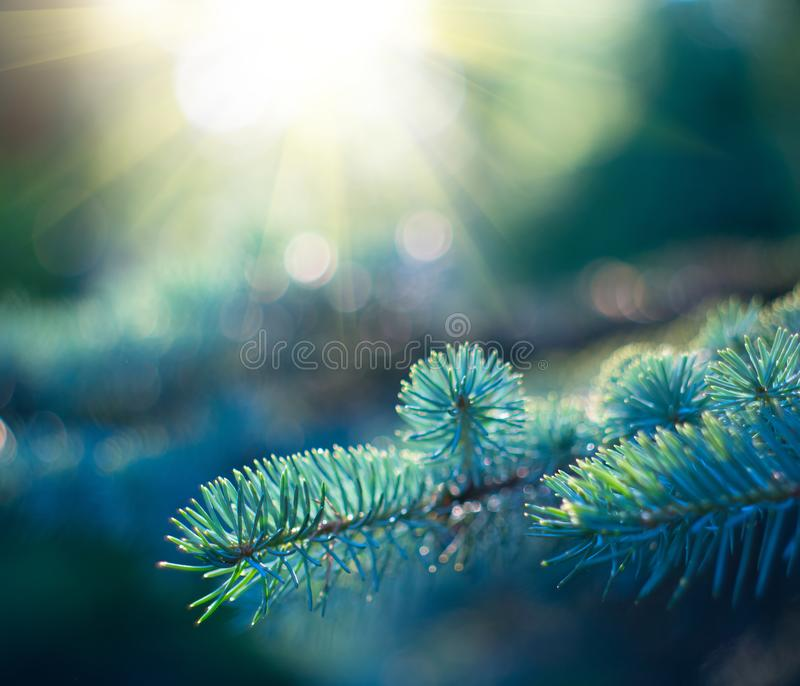 Blue Spruce growing in summer garden. Spruce outdoors, conifer needles close-up, nature. Sun flares. Garden design, gardening. Christmas tree royalty free stock image