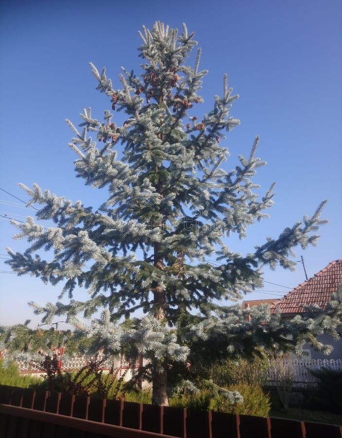 Blue Spruce med Cones i en Garden royaltyfri fotografi