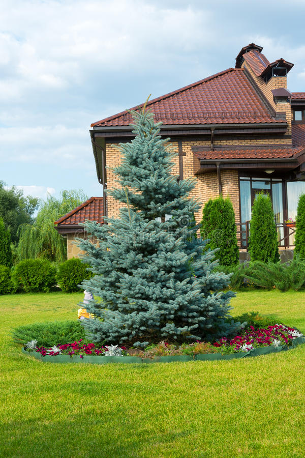 Blue spruce near cottage royalty free stock image