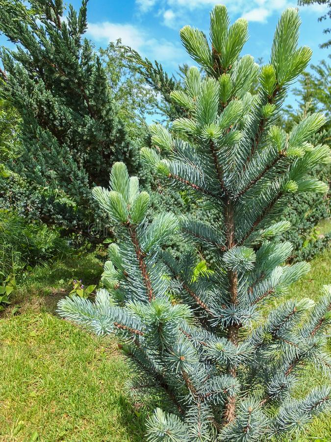 Blue Spruce Picea pungens Iseli Fastigiata with fresh new growth in the garden. Soft tender needles grow vertically upwards accord. Ing to the variety of this stock photo
