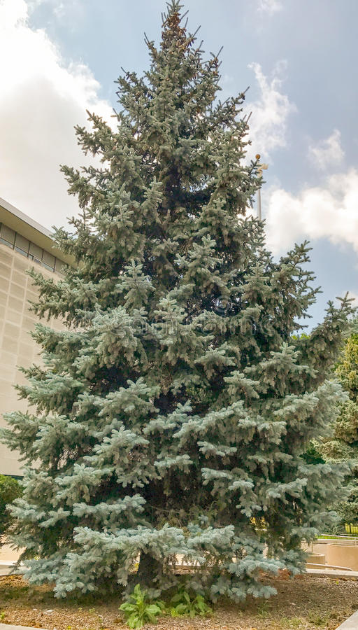 Blue Spruce stock images
