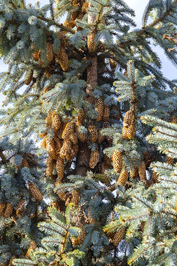 Blue spruce tree close-up. Christmas tree. Pine tree or fir tree with cones in Carpathian mountains royalty free stock photo
