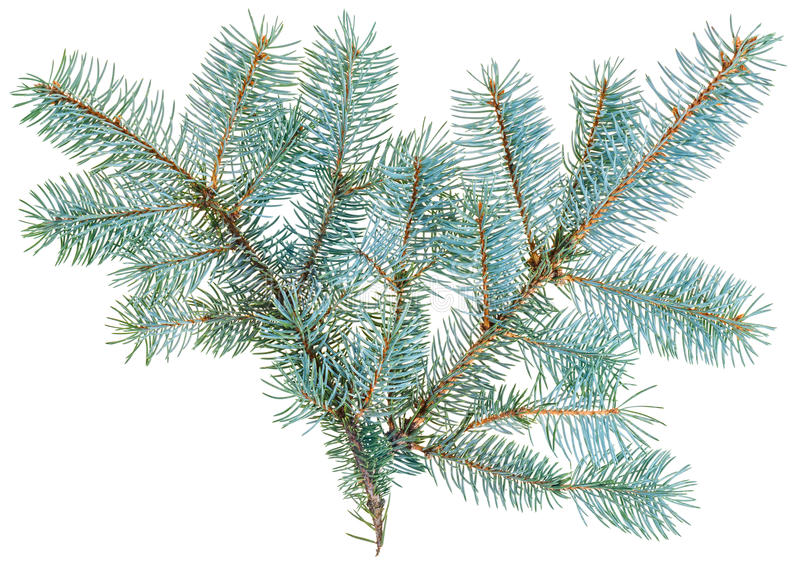 Download Blue Spruce Twig Isolated On White Stock Image - Image: 26640249