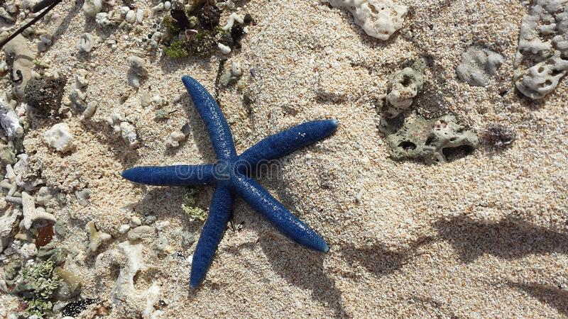 Blue starfish stock photography
