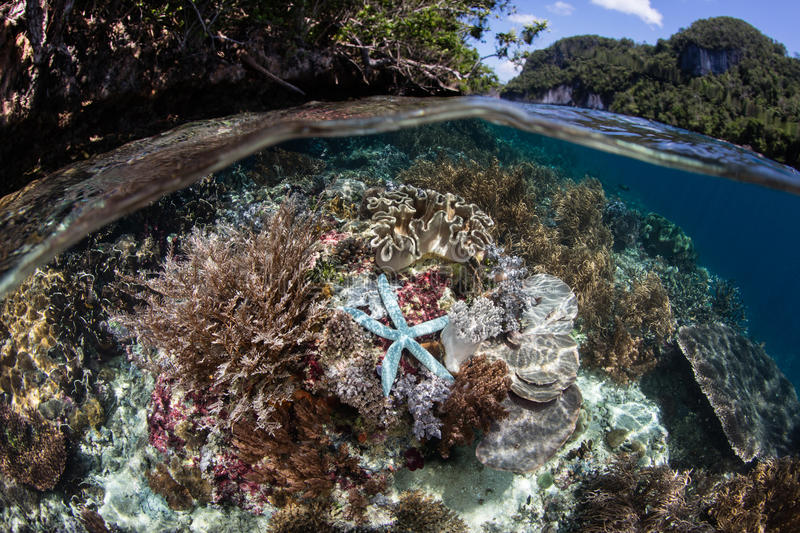 Blue Starfish in Raja Ampat. A blue starfish clings to a shallow reef in Raja Ampat, Indonesia. This remote region of eastern Indonesia is home to extraordinary royalty free stock images