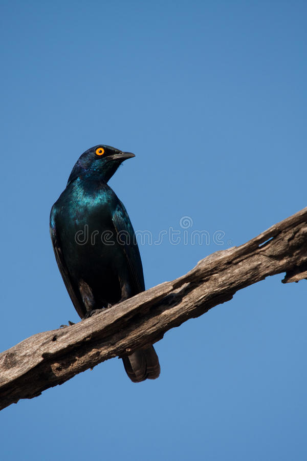 Blue Starling Bird Royalty Free Stock Photography