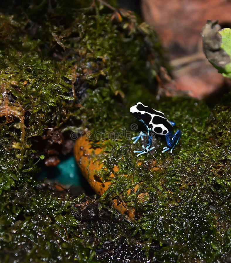 Blue Strawberry poison dart frog. Poison dart frog from Panama rain forest. This exotic amphibian has many color variations stock photo