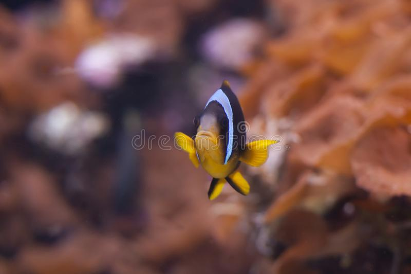 Blue Stripe Clownfish Amphiprion chrysopterus stock photos