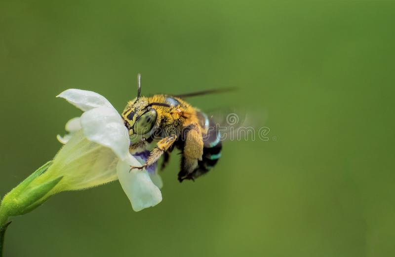 Blue striped bee on the flower stock images