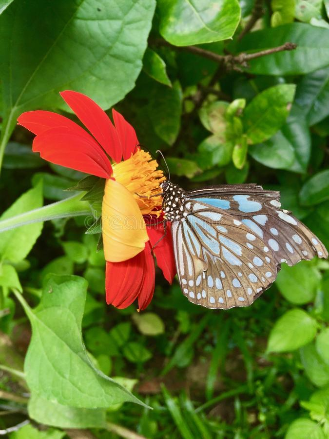 Butterfly sucks nectar from Mexican sunflowers. A blue-striped butterfly is sucking nectar from Mexican sunflowers. Wings are broken royalty free stock image