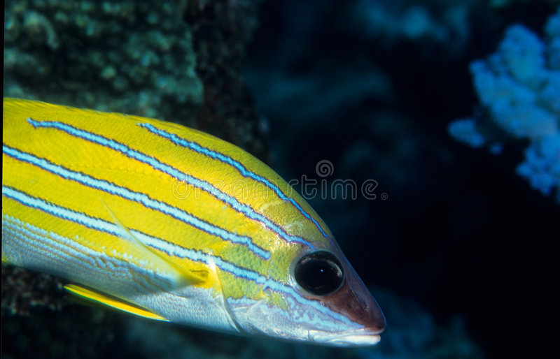 Blue stripped Snapper fish stock photos