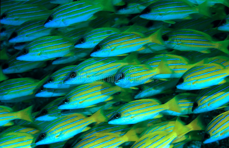 Blue stripped Snappers stock photo