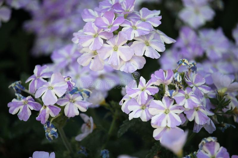 Blue Stripped Verbena flowers close-up stock image