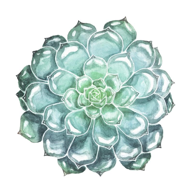 Blue Succulent Closeup. Watercolor Illustration. Blue-green succulent watercolor illustration. Hand drawn echeveria flower isolated on white background. Floral vector illustration