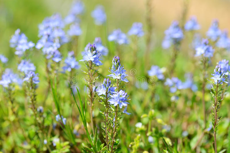 Blue summer flowers field at sunset time royalty free stock photography