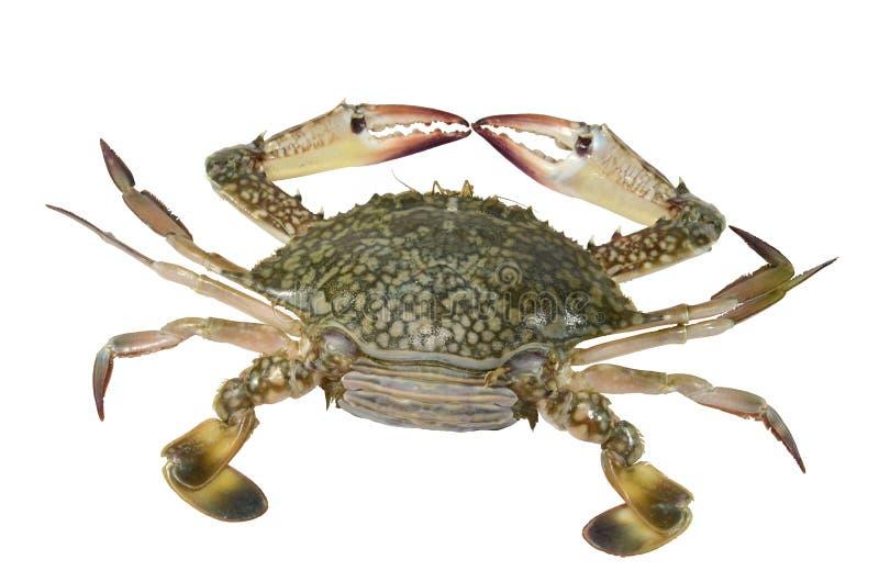 Blue Swimming Crab (female) Stock Image