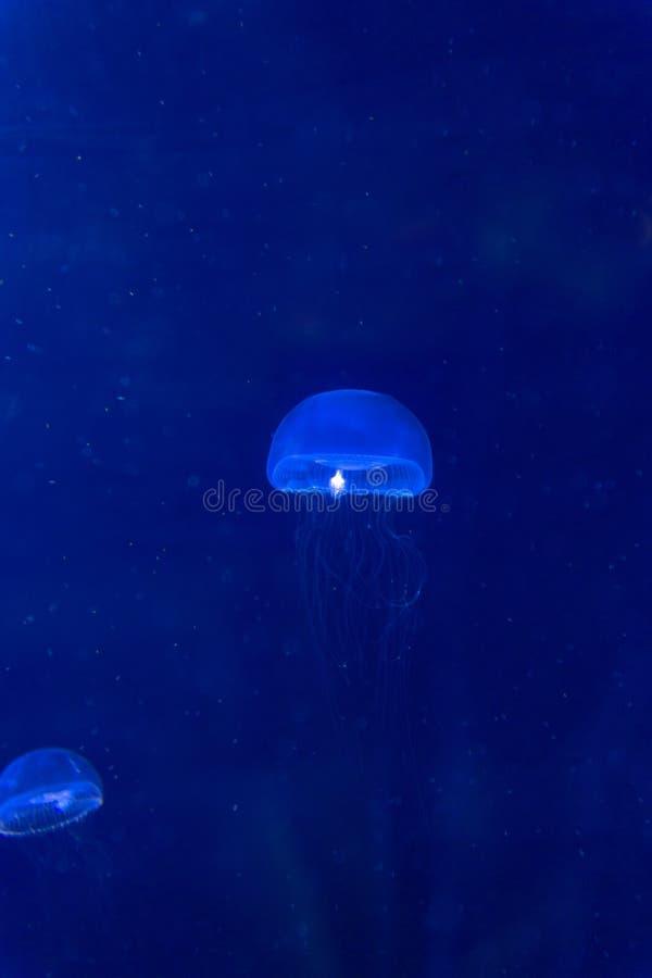 Blue swimming jellyfish swim to light royalty free stock image