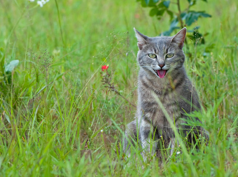 Blue tabby cat panting royalty free stock photography