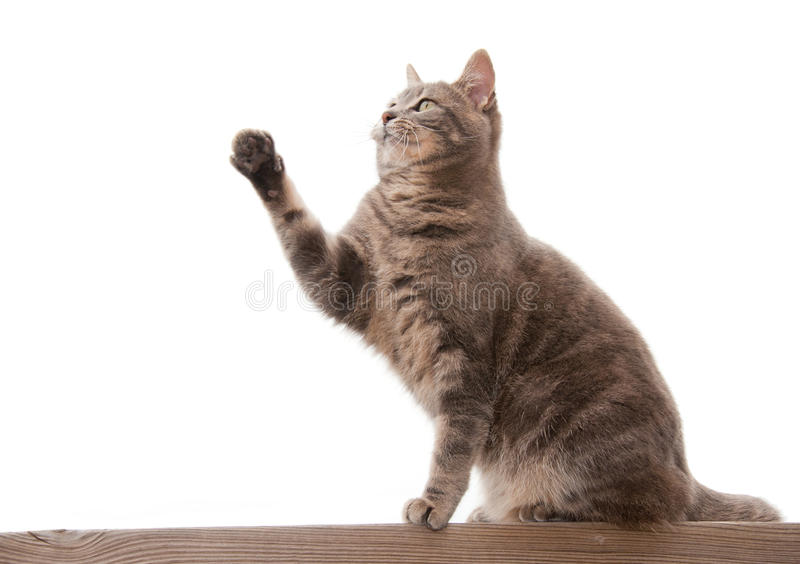 Blue tabby cat with a raised paw
