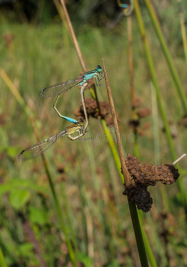 Blue-tailed Damselflies mating royalty free stock images
