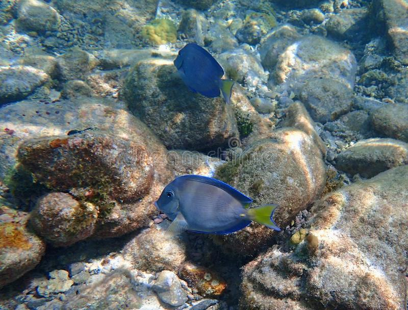 Blue Tang eating growth off of coral royalty free stock image