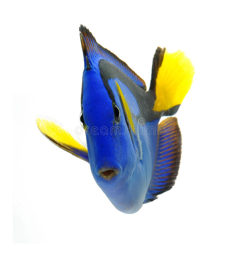 Free Blue Tang Fish Isolated On White Royalty Free Stock Images - 21808929