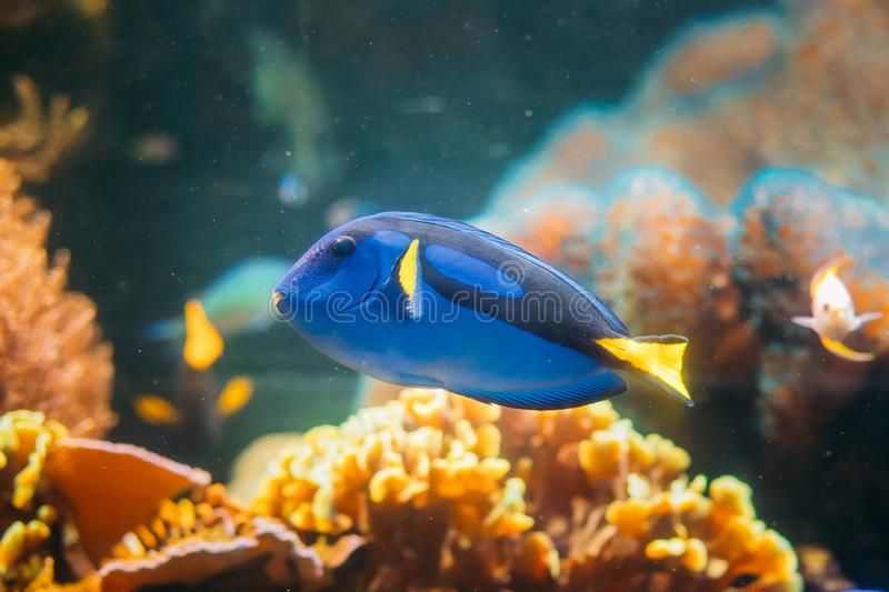 Blue Tang Fish Paracanthurus Hepatus Swimming In Water. Popular. Fish In Marine Aquarium, Needs A Large Coral Aquarium To Be Able To Live In Captivity. It Is royalty free stock photos