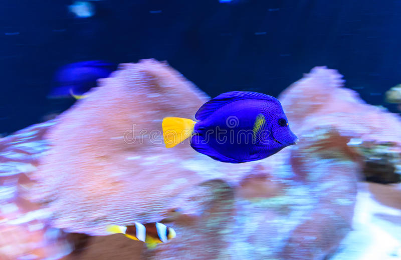 Blue tang fish stock photo image 32299400 for Dream of fish swimming
