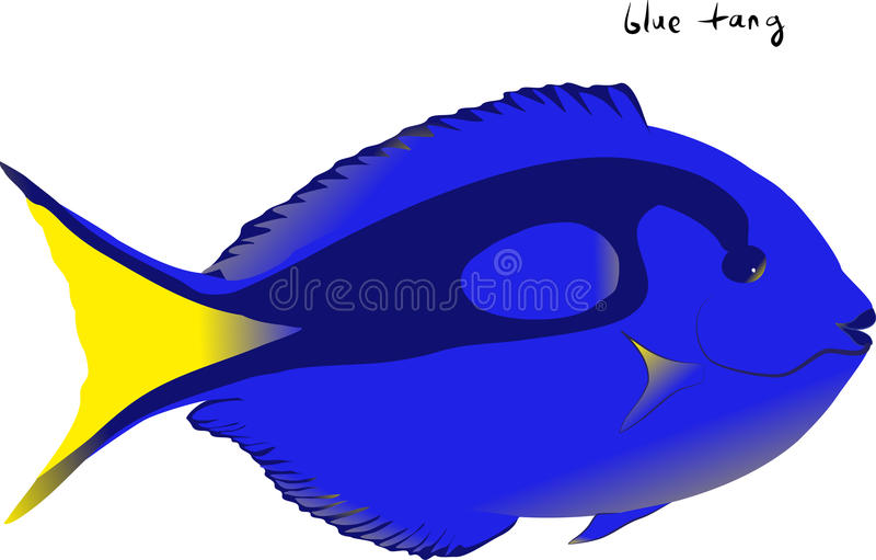 Blue Tang. Illustration of a brilliant Blue Tang or Dory aquarium fish on a white background stock illustration