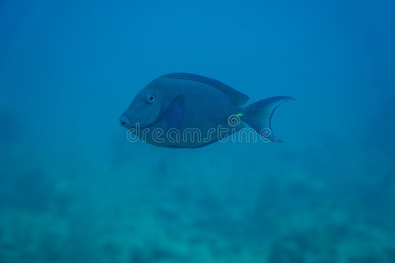 Blue tang underwater stock images