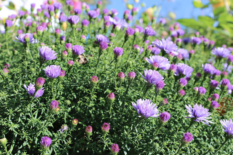 Blue thin flap perennial asters. In the garden royalty free stock photo