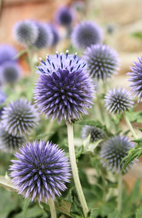 Blue Thistle. Eryngium planum is an herbaceous perennial weed classed as a dicotyledon native to eastern Europe stock photography