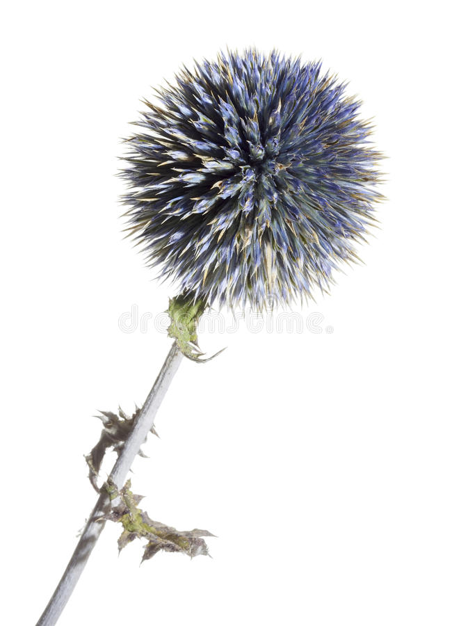 Blue thistle flower. Dried blue thistle flower closeup in white back royalty free stock images
