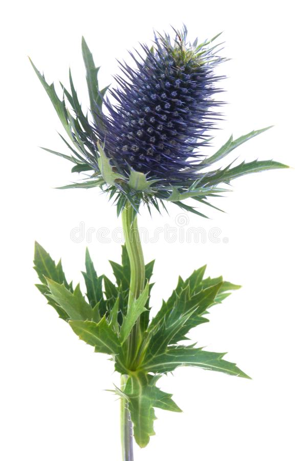 Blue Thistle stock images