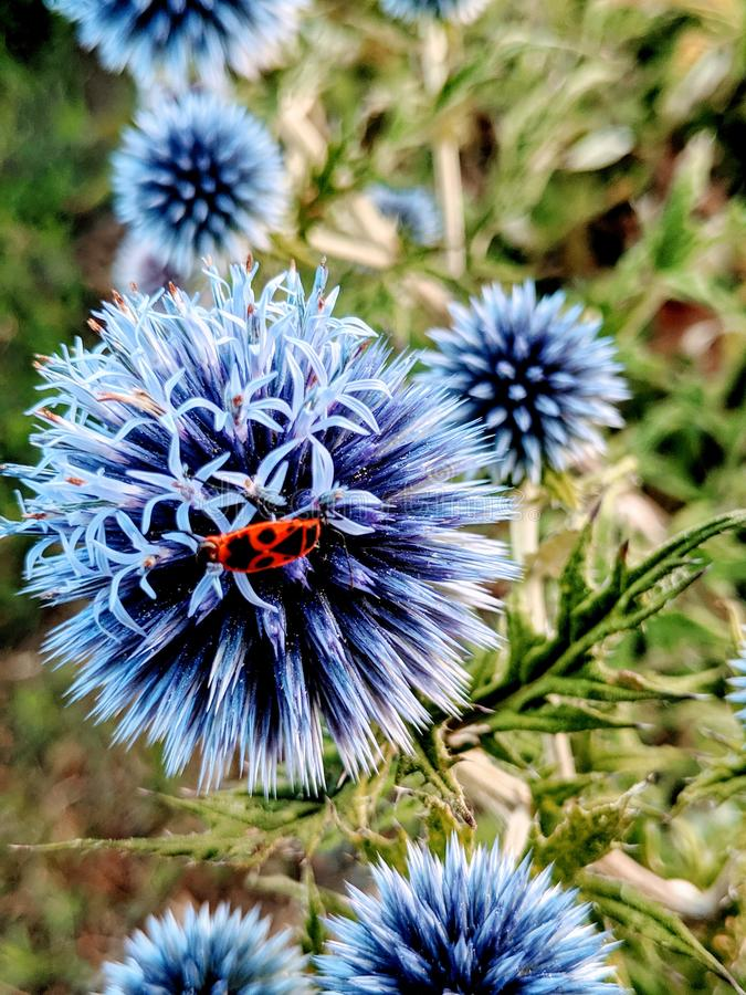 Blue thistle with red bug royalty free stock photos